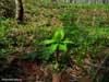Зеленая звезда. Весенние цветы Приморского края. Автор фотографий - Компанец Д.А.