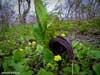 Симплокарпус - Драконий клюв. Весенние цветы Приморского края. Автор фотографий - Компанец Д.А.