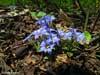 Эдельвейс - голубой колокольчик. Весенние цветы Приморского края. Автор фотографий - Компанец Д.А.