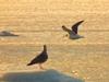Утренний полет. Фотография летящих чаек над морем покрытым ледяной шугой. Автор - Компанец Д.А.