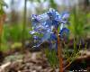 Голубые башмачки. Фотография весенних цветов в пригороде Владивостока. Автор - Компанец Д.А.
