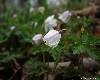 Белый колокольчик. Цветы в парке Минного городка в пасмурную погоду. Автор - Компанец Д.А.
