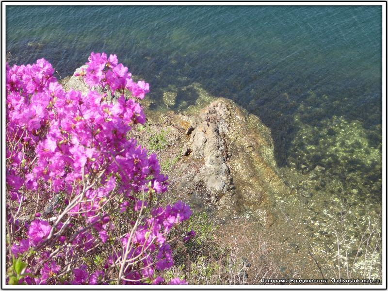 Фотографии цветущего Багульника под Владивостоком. Автор фото Компанец Д.А.