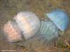Медузы - гиганты у берегов  Приморского края. Автор фотографий - Компанец Д.А.