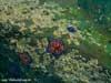 Подводные миры - морские звезды. Подводные фотографии побережья Приморского края. Автор подводных фотографий - Компанец Д.А.