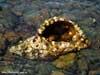 Раковина рапаны с поселившимся в ней раком отшельником. Подводные фотографии. Автор подводных фотографий - Компанец Д.А.