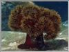 Подводный ландшафт. Морская хризантема - Актиния. Автор подводных фотографий - Компанец Д.А.