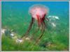 Медуза - Роза. Автор подводных фотографий - Компанец Д.А.