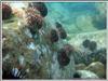 Соседи. Черный морской еж и шести лучевая голубая звезда. Автор подводных фотографий - Компанец Д.А.