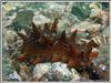 Дальневосточный трепанг. Подводная фотография. Автор подводных фотографий - Компанец Д.А.
