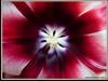 Тюльпан. Люминография Владивостока. Автор - Компанец Д.А.