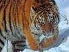 Фото. Взгляд Уссурийского тигра. Автор - Компанец Д.А.