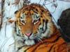 Фотография. Амурский тигр. Автор - Компанец Д.А.