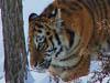 Тигрята в вольере среди копытных. Автор - Компанец Д.А.