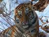 Лежка Уссурийского тигра. Автор фото - Компанец Д.А.