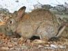 Серый зайчишка. Фотография - Компанец Д.А.